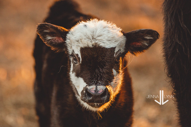 Calf Portrait