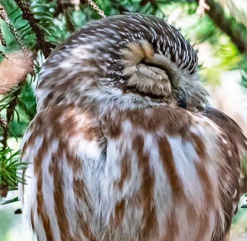 Northern Saw-whet Owl - Owl Woods - © David Laiacona - Mar 14, 2021
