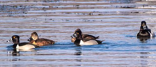 Ring-necked Duck - Irondequoit Bay Park West - © David Laiacona - Mar 17, 2021