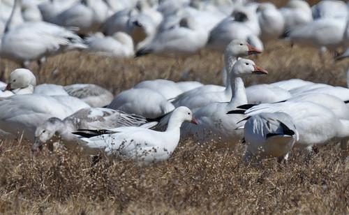 Ross's Goose & Snow Goose - Walworth - © Dominic Sherony - Mar 19, 2021