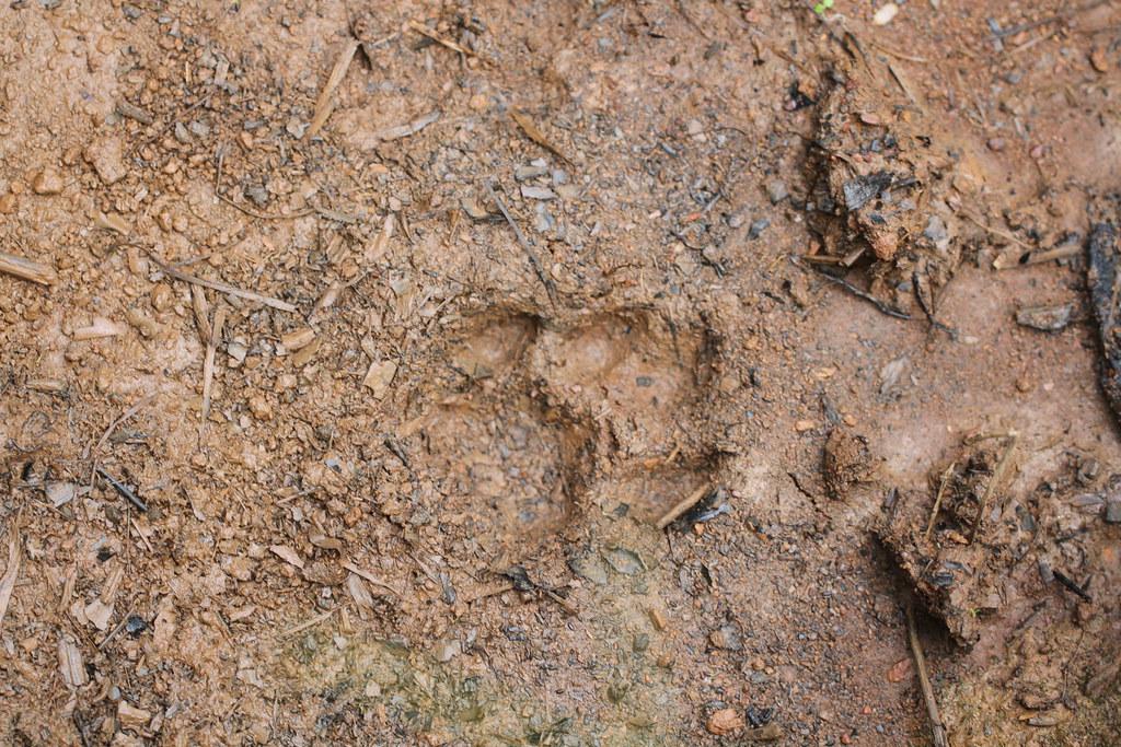 Puma concolor Linnaeus, 1771