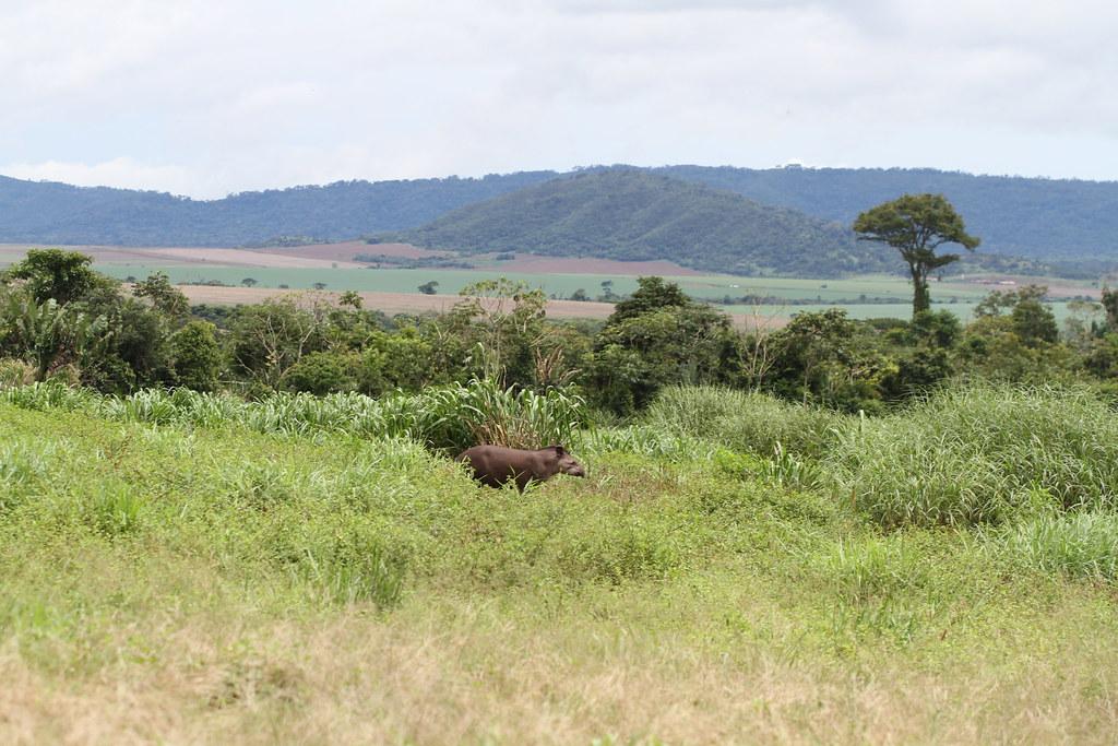 Tapirus terrestris (Linnaeus, 1758)