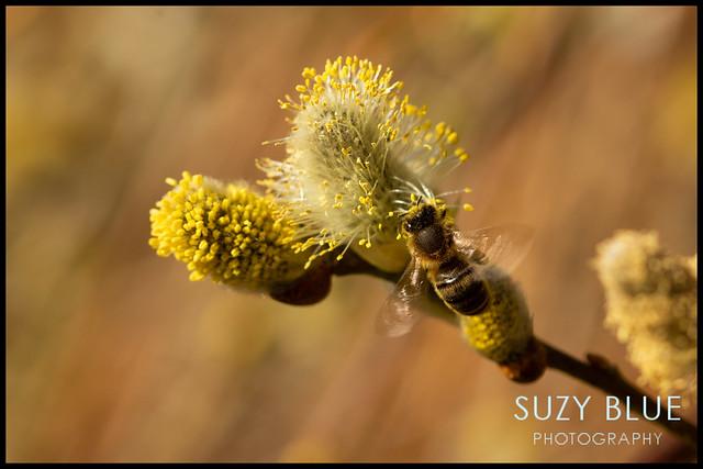 Honeybee on Willow catkins