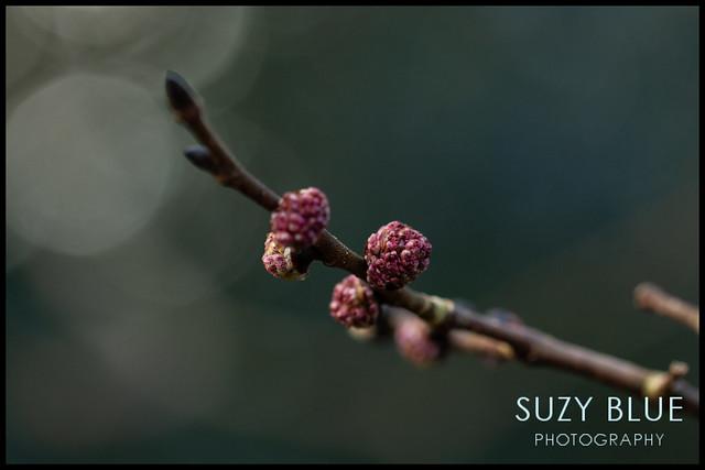 Elm flowers