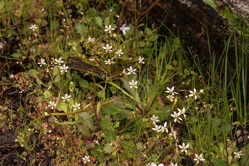 Micranthes petiolaris var. shealyi
