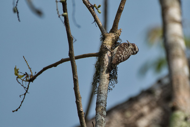 Brown Capped Pygmy Woodpecker
