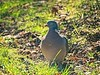 Pigeon in the afternoon sun in the home garden | March 21, 2021 | Tarbek - Segeberg District - Schleswig-Holstein - Germany