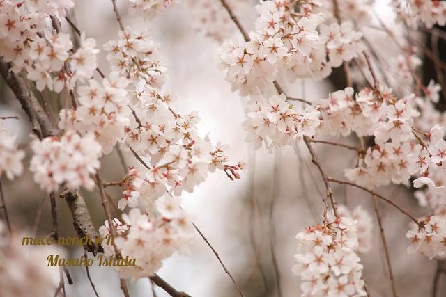 Kyoto Gyoen National Park Konoetei-no-Itozakura cherry blossoms