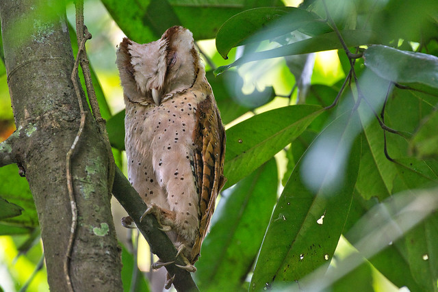 Sri Lankan Bay Owl