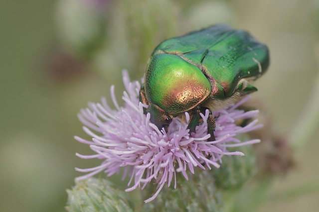 Rose Chafer Beetle - Cetonia aurata