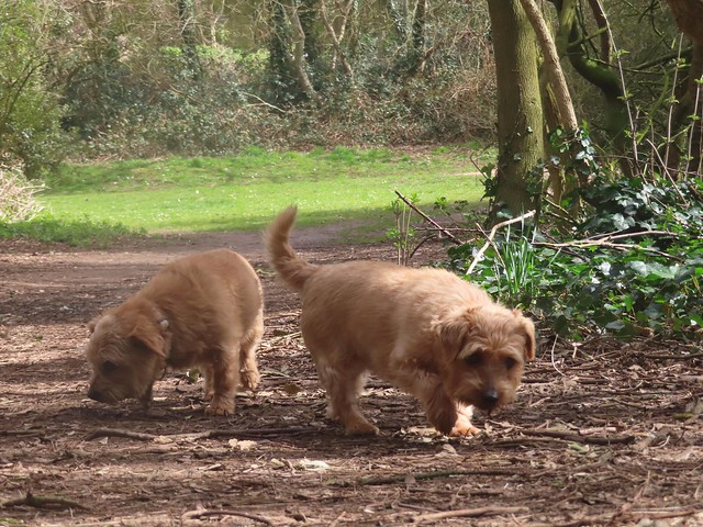 Dottie and Tipple Chatsworth Park 21.03..2021 001