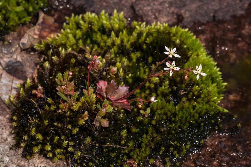 Micranthes petiolaris var. shealyi on a wet mat of moss