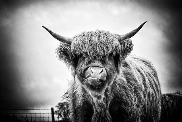 Highland Cattle [Explored]