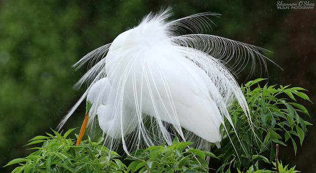 Great Egret (EXPLORED)