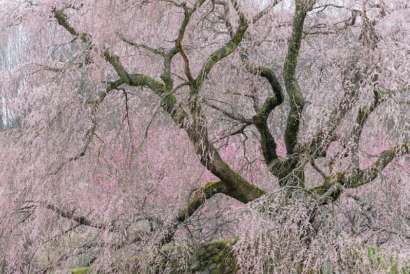 Old Cherry Tree Blossom ( 又兵衛桜 2021 )