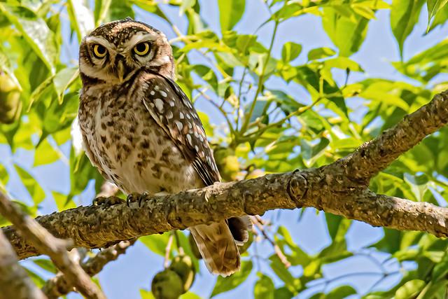 Spotted owlet (Athene brama), Muthyala Maduvu