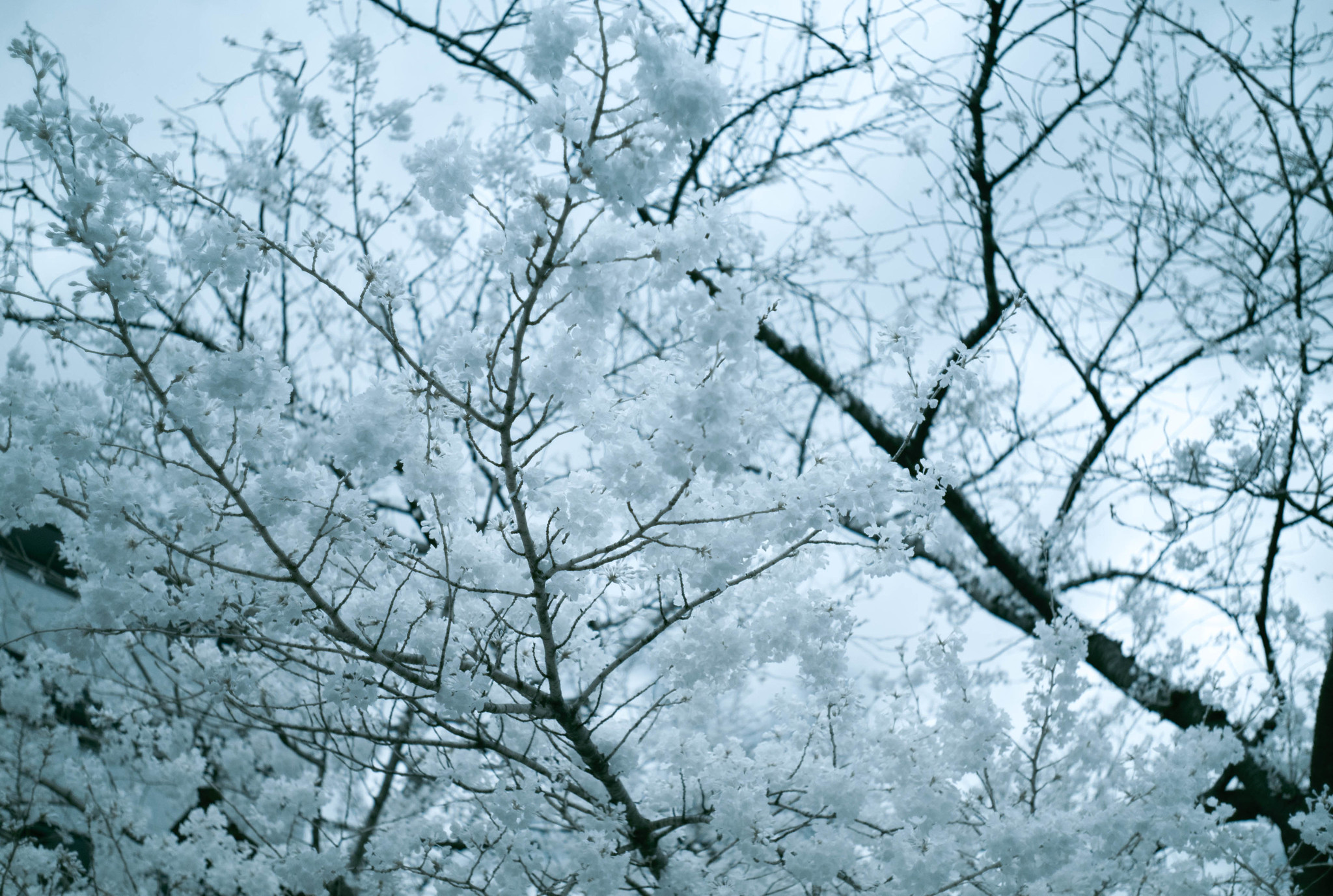 cherry blossom(infrared photography)
