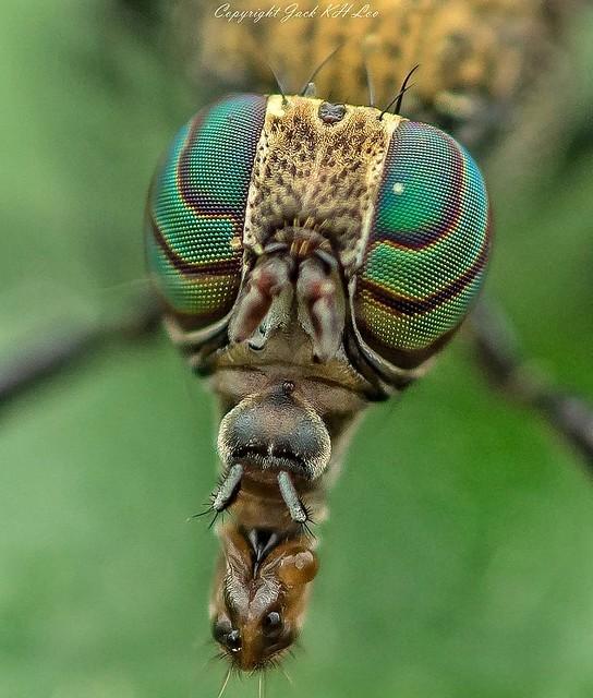 Close-up. Platystomatidae
