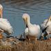 American White Pelicans ( Pelecanus erythrorhynchos)