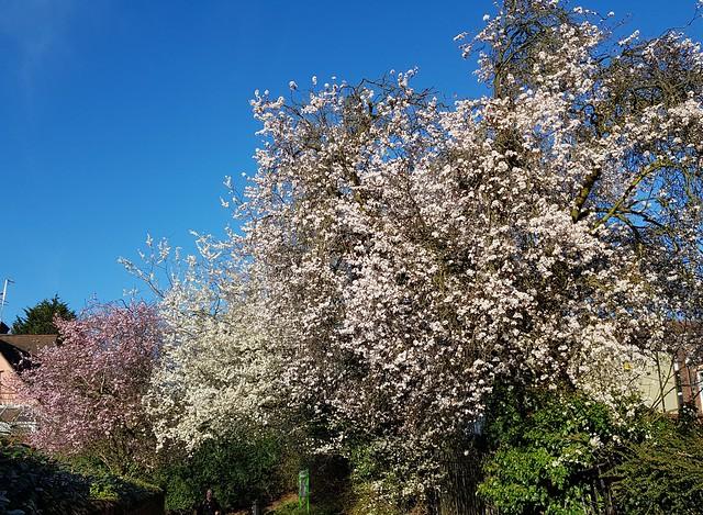 Hawthorn & Cherry blossom