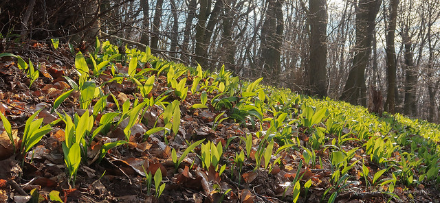 021Mar 18: Bear Garlic Field in Spring Forest