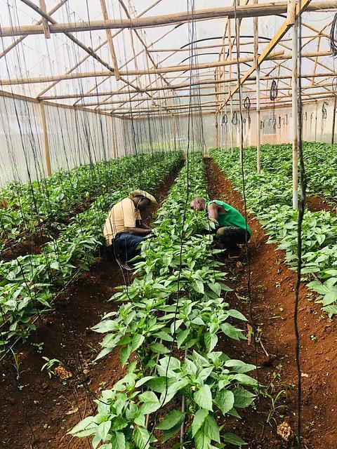 Tanzania Horticultural Association (TAHA) screenhouse