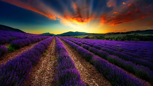 Lavender Field at Blue Hour in Provence, France