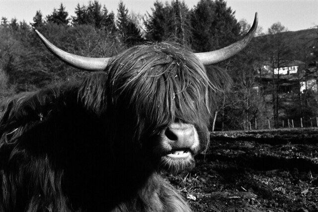 Highland cow eyeing dude with Leica
