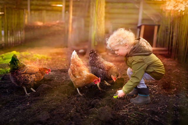 Guus and the chickens
