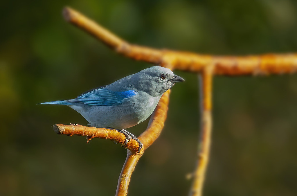 Blue-gray tanager / Blátáni (Thraupis episcopus)