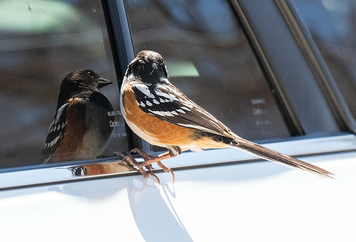 spotted_towhee_wierdness_20210322_165-Edit
