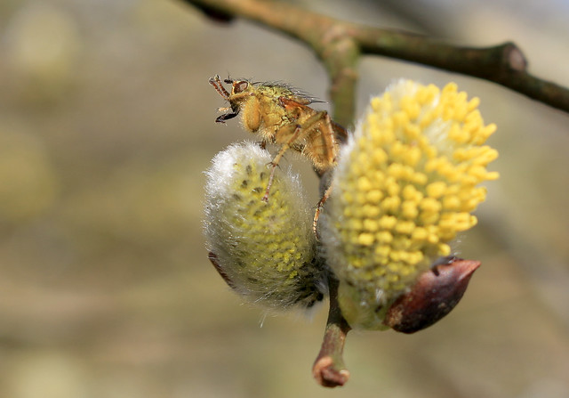 Yellow Dung Fly on Pussy willow