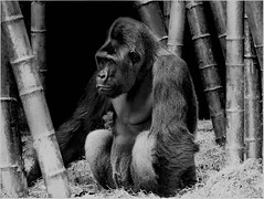 Gorilla By Larry Church Award Mono Feb 2021