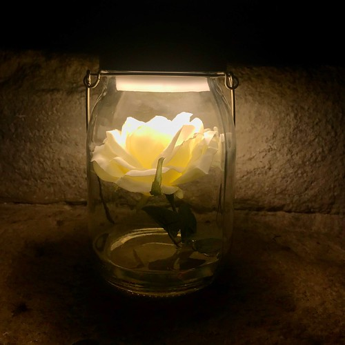 Rose - Le Curiosaure