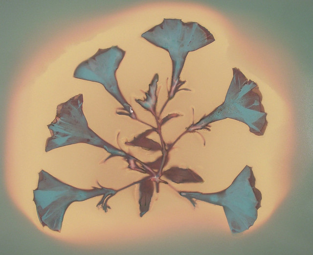 Lumen Print 1842 Petunias by John Fobes: copyrighted all rights reserved