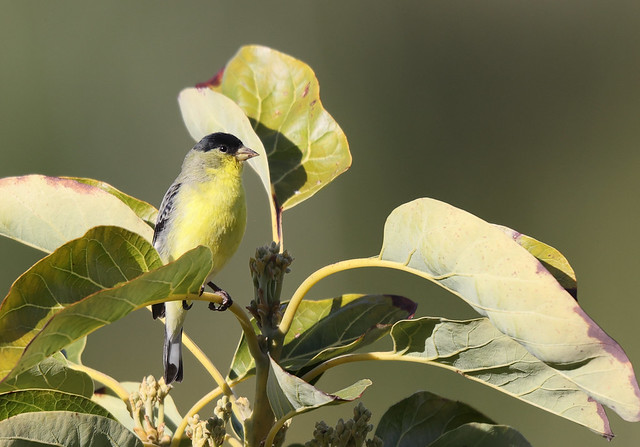 1DX30085 View large. Male Lesser Goldfinch. Backyard Corona, California