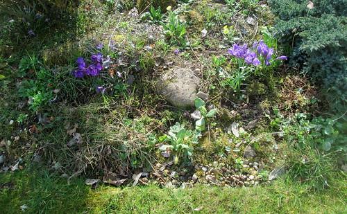 my Garden , crocuses