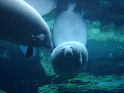 Manatee at Sea World, 2005