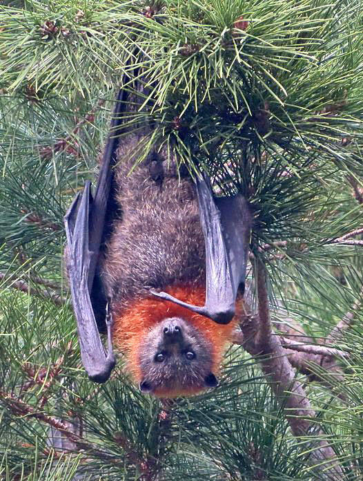 11 - Grey-headed Flying Fox (Mick Webster)