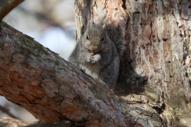 Squirrel eating in a tree3
