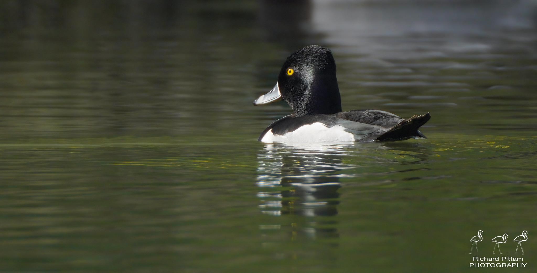 Ring-necked Duck - awkward little beggar....