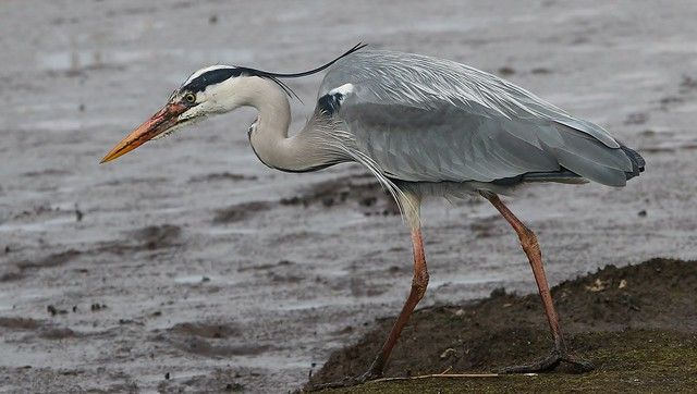 Grey Heron 220321 (4)