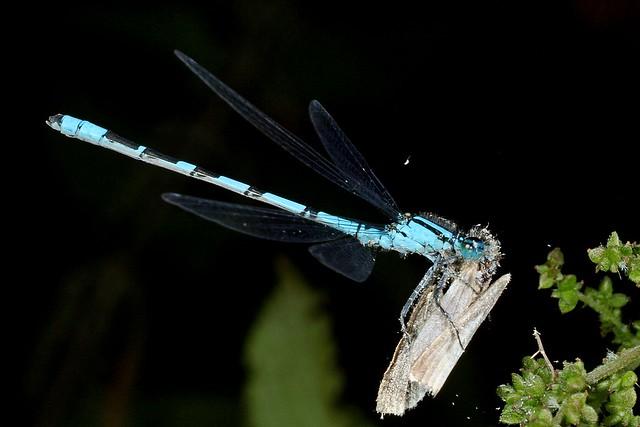 Rolf Nagel-Fl-6051-Enallagma cyathigerum+prey