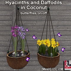 Hyacinths-Daffodils in Hanging Coconut