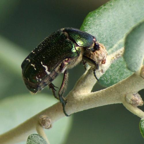 Vista macro de un escarabajo. Escarabajo visto de cerca