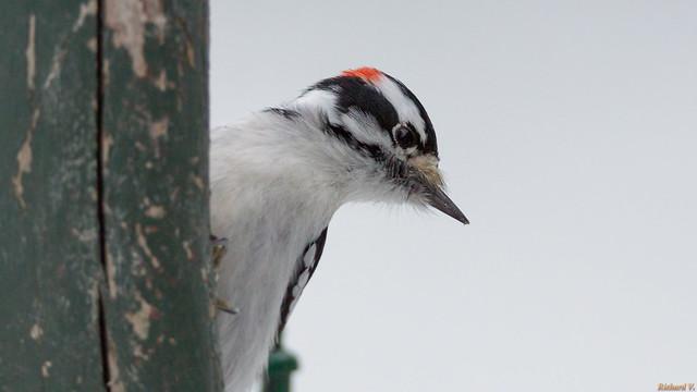 Pic mineur - Downy Woodpecker, Beauce, PQ, Canada - 3213