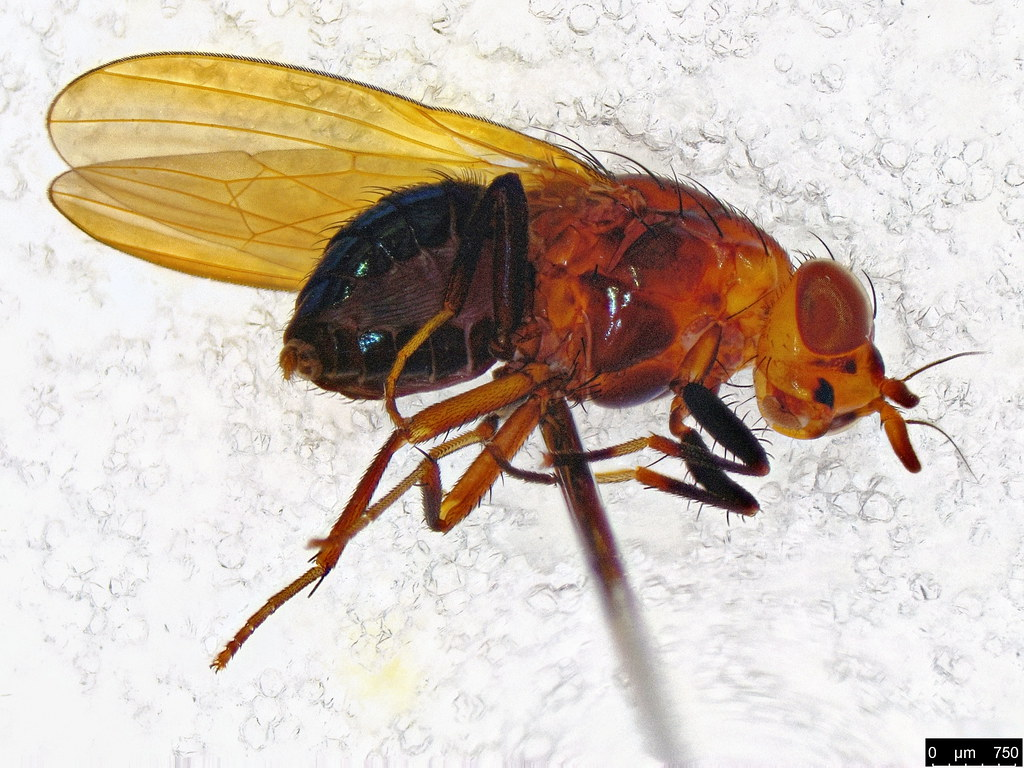 4c - Lauxaniidae sp.
