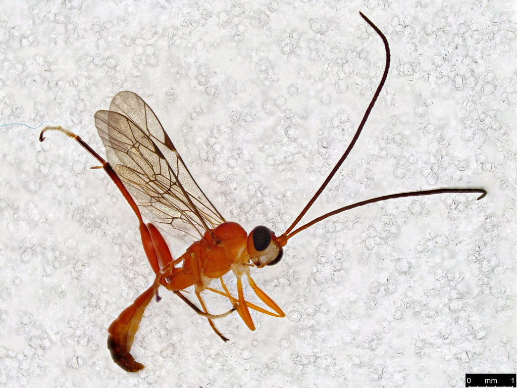 17 - Ichneumonidae sp.