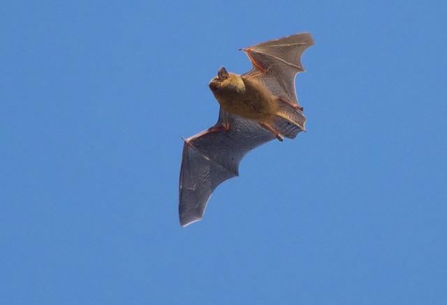 murcielago enano / common pipistrelle