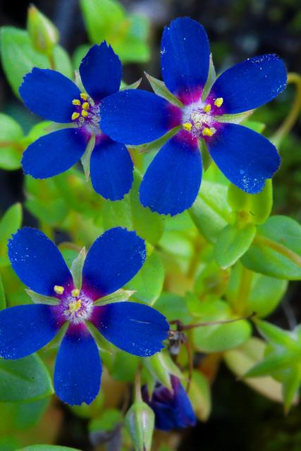 Anagallis arvensis var. caerulea